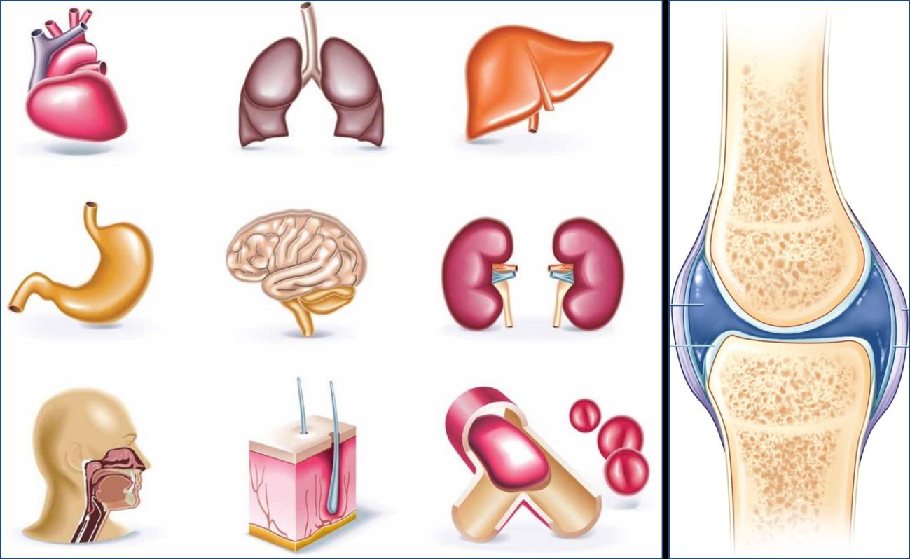 un nuevo organo en el cuerpo humano la articulacion